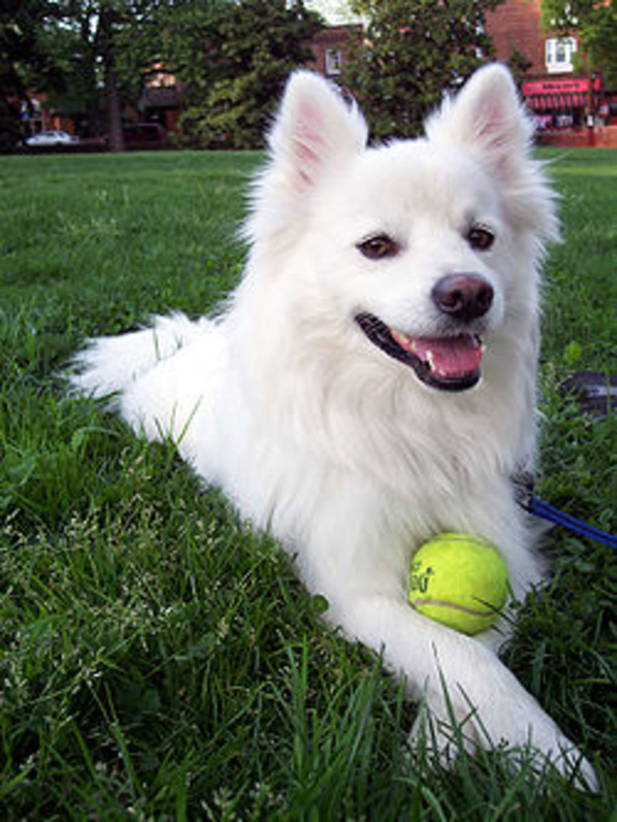 American Eskimo Dog Facts