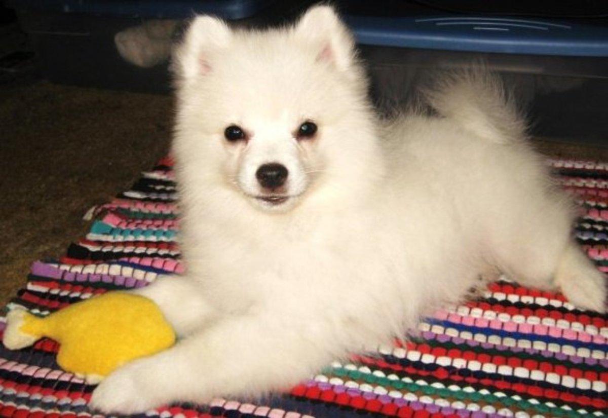 An American Eskimo Puppy