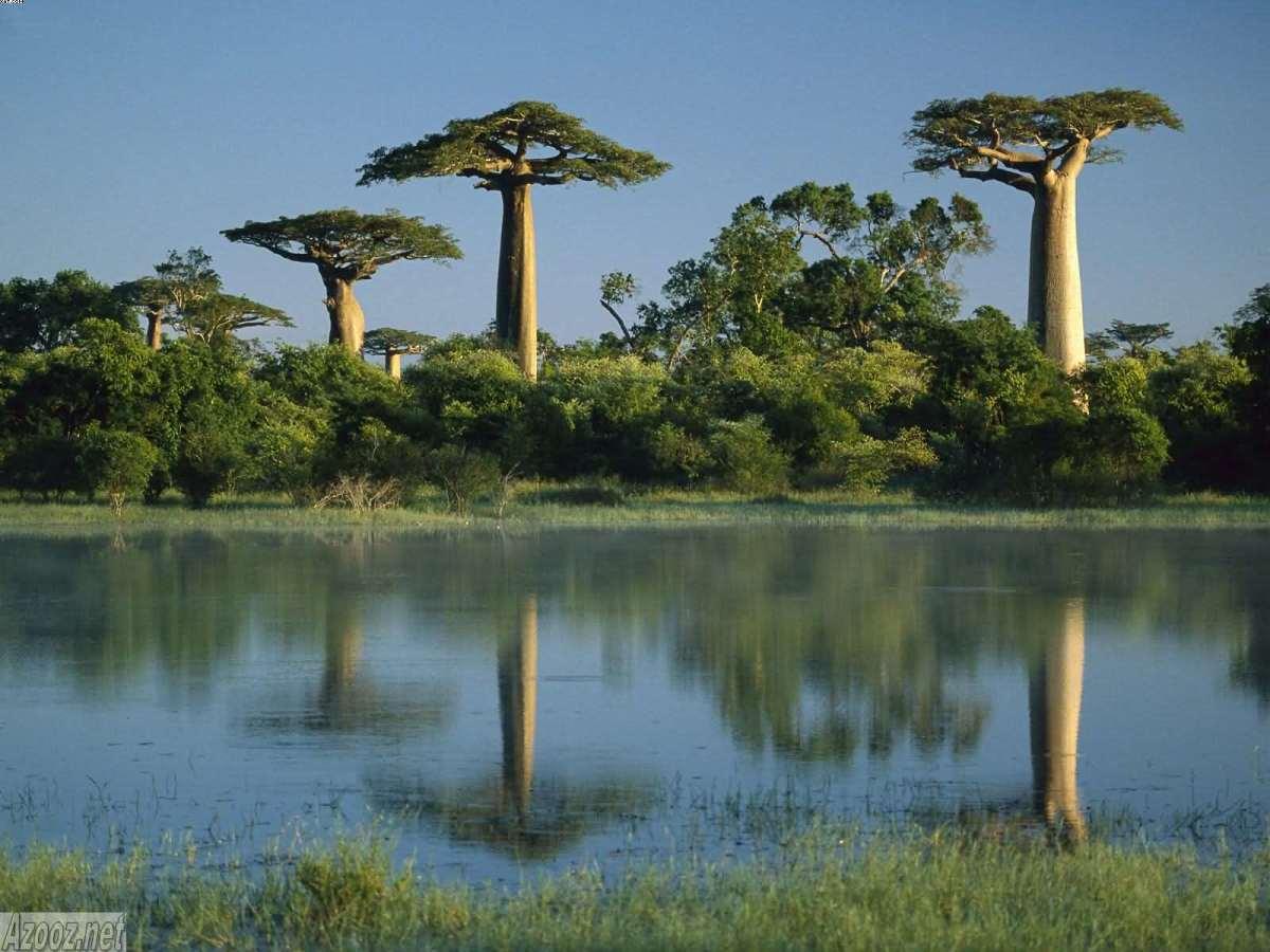Adansonia grandieri in wetlands of  Morondava Madagascar