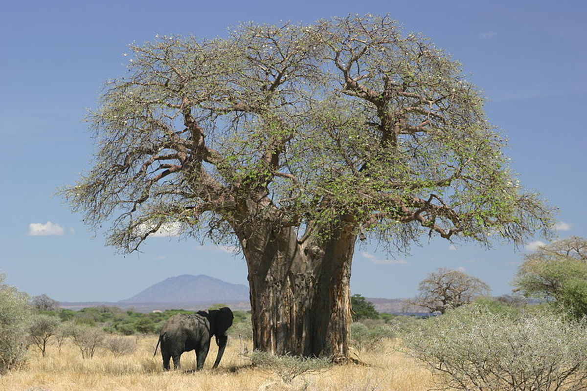 Facts About the Baobab Tree - The Tree of Life
