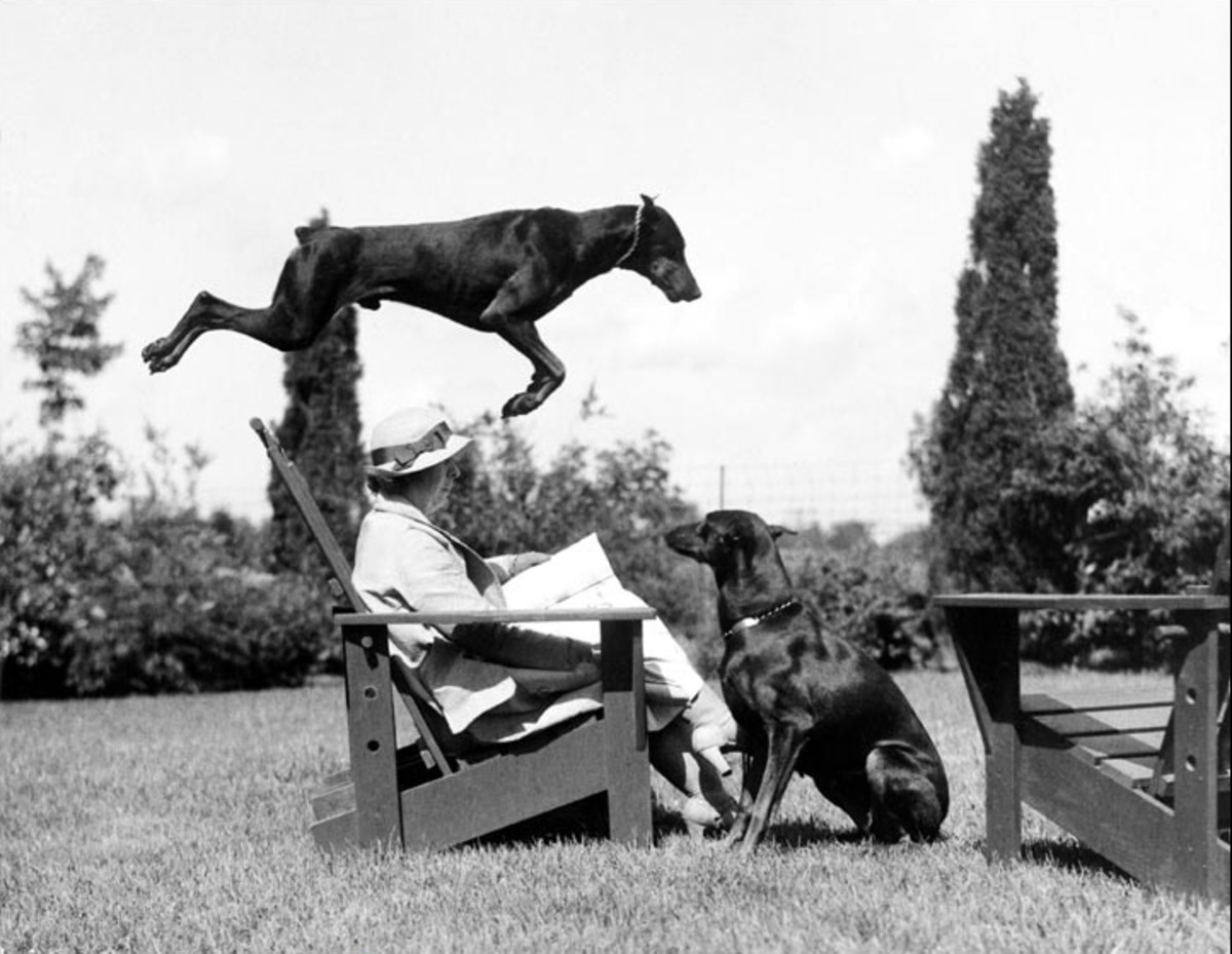 Willard R. Culver captured this amazing Doberman stunt.