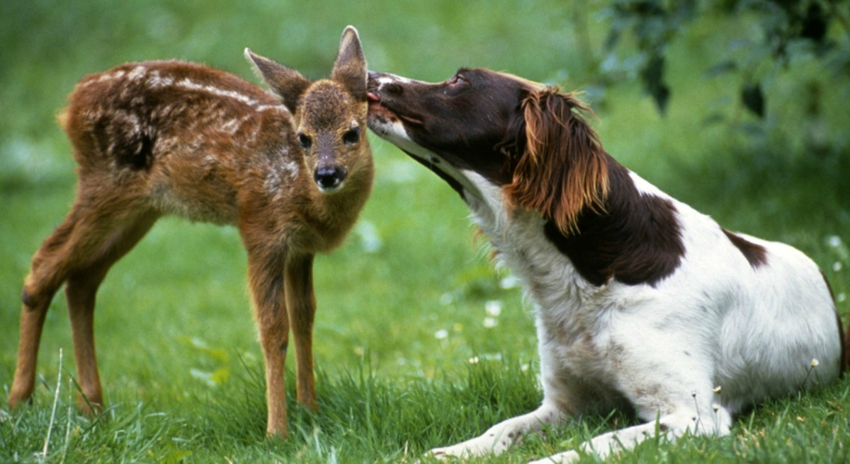 Deer and dogs often form unlikely relationships with one another.