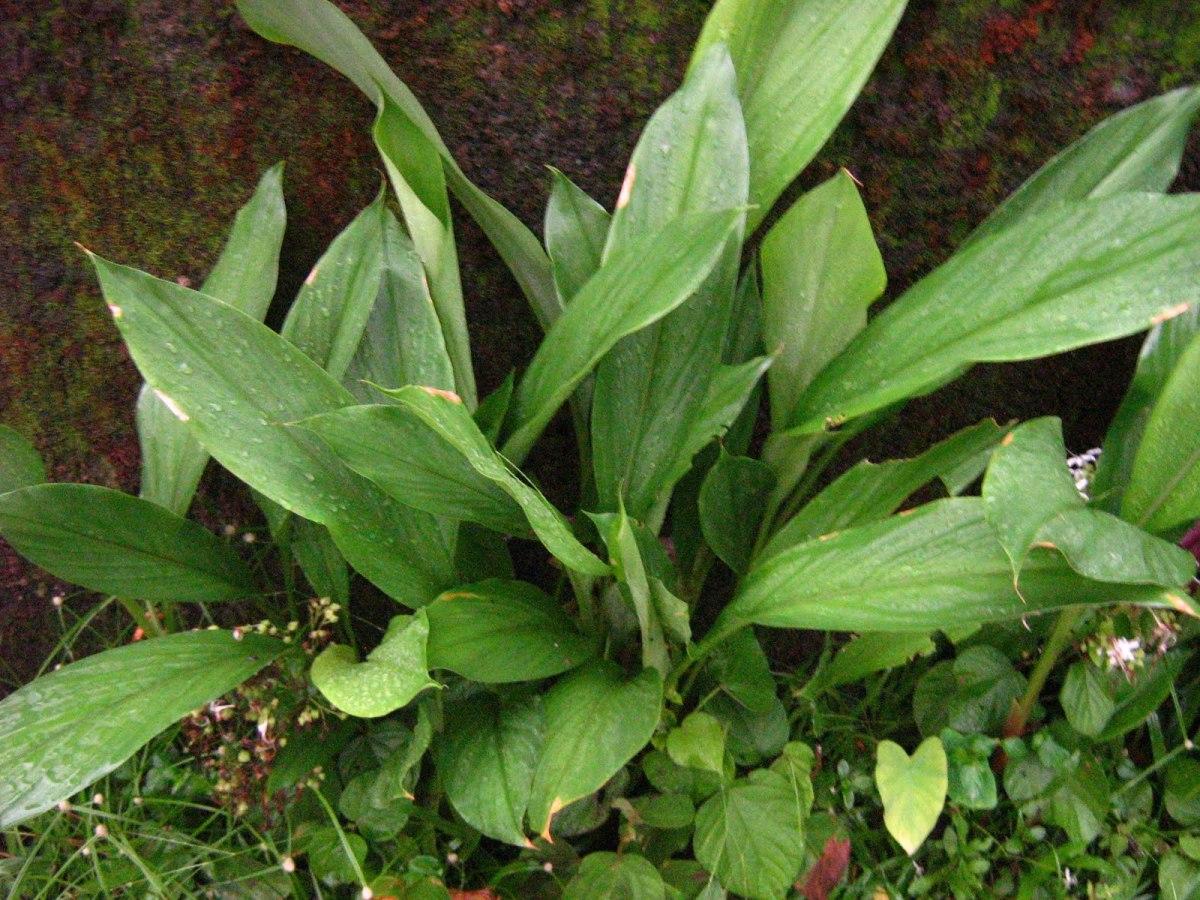 Arrowroot powder health benefits