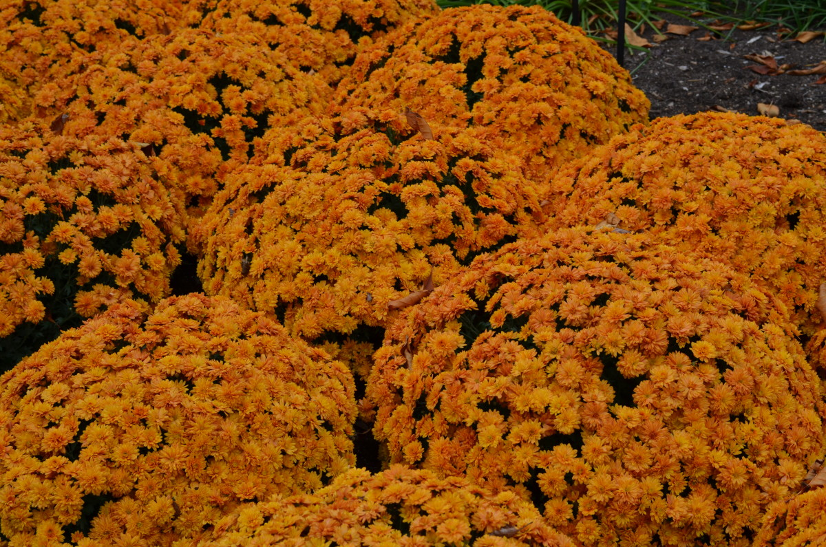 Photo 6 - I like this display because its a mass display of chrysanthemums, so dense you can't even see the pots.