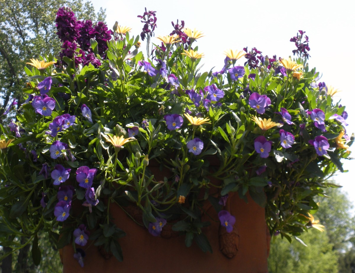 Photo 4 - This was a uniquely shaped pot, holding periwinkle colored, fuschia colored, and golden yellow flowers.