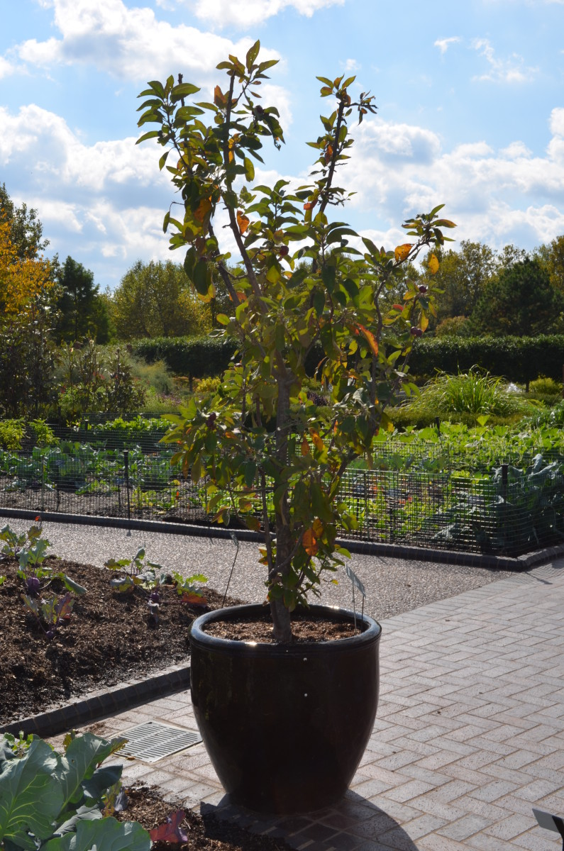 Photo 2 - Growing little trees in big pots can be lots of fun!
