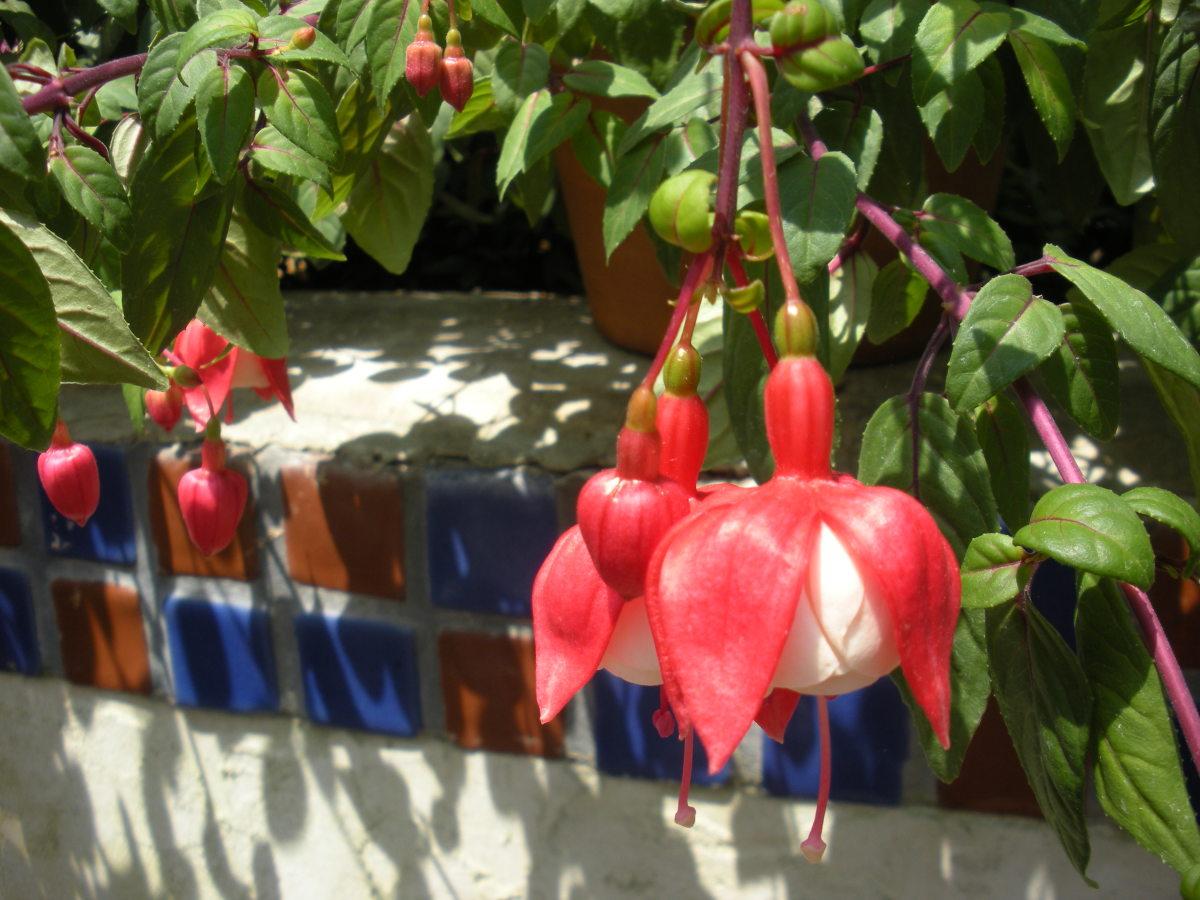 Photo 1 - Pretty Fuschia flowers growing in a pot.