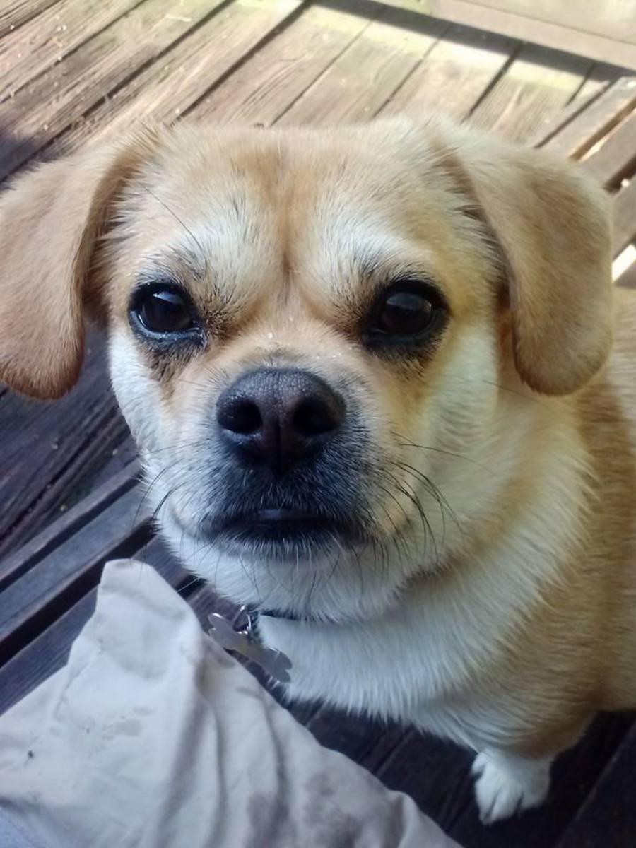 Pekehund Pekingese Dachshund Is An Interesting Dog Breed