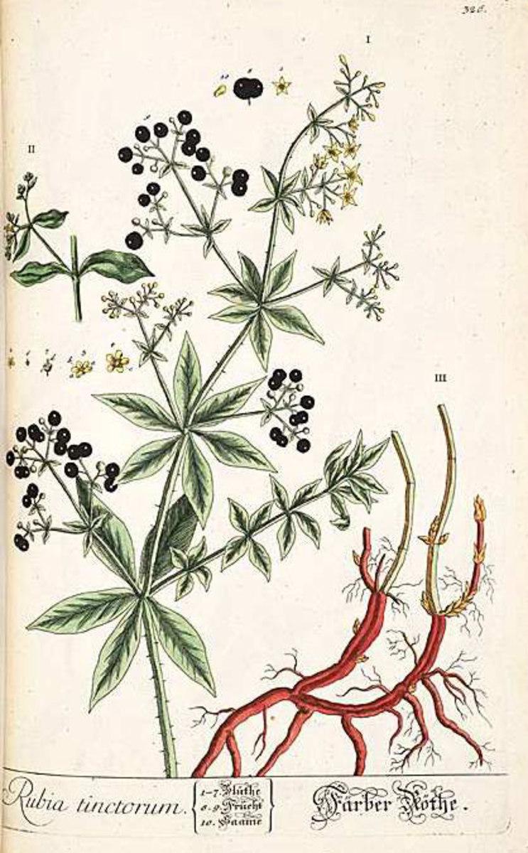 European madder, Rubia tinctorum L.
