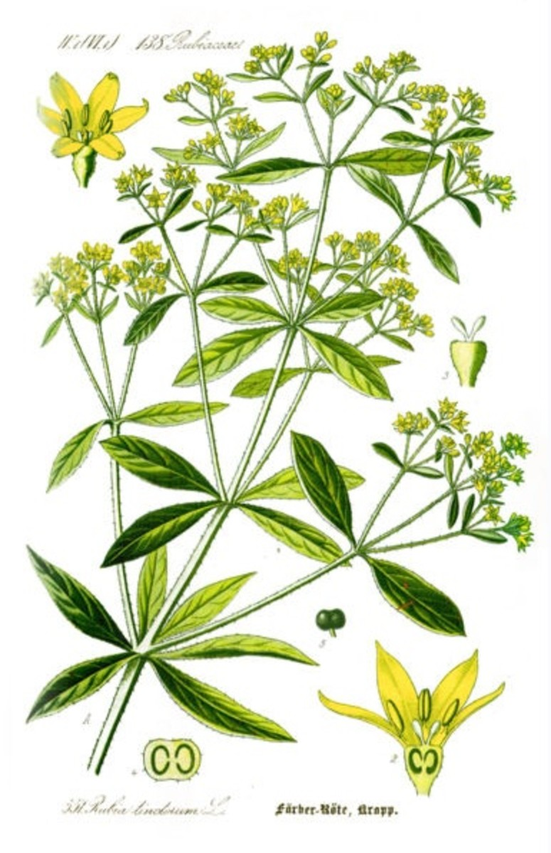 Indian madder, Rubia cordifolia L.