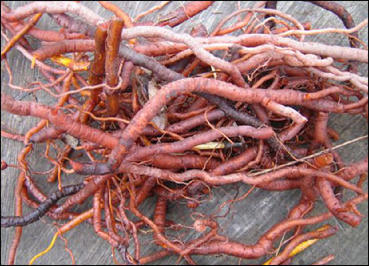 Madder roots.