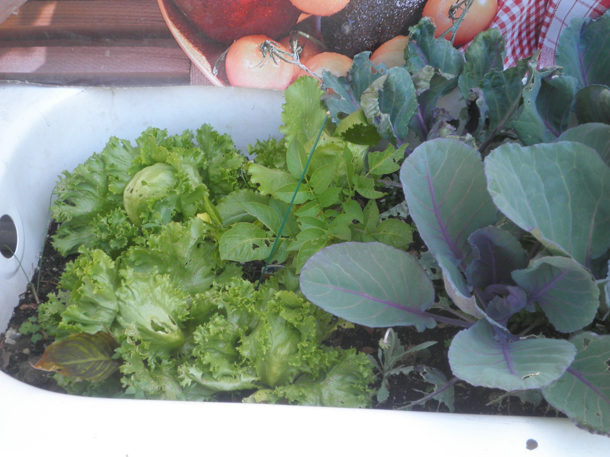 Vegetables I planted in a old bathtub. Bath tubs makes great containers for plants and flowers - just make sure you have adequate drainage.