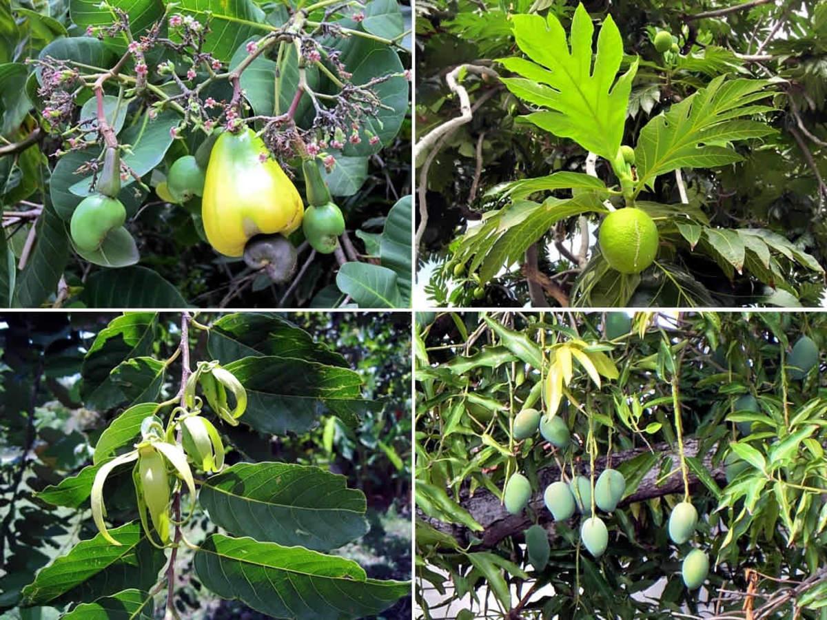 Clockwise:  ashew, breadfruit, mango, Ylang ylang.