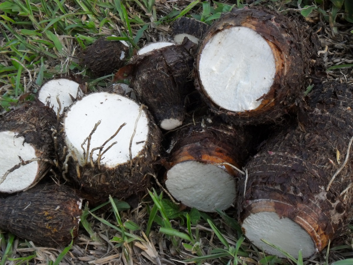 What Is Taro Root? Cocoyam, Eddo, Dasheen Health Benefits