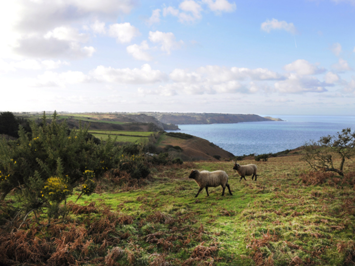 The north coast of Man with some of the multi-horned Loaghtan sheep brought by the Norsemen in the 10th Century