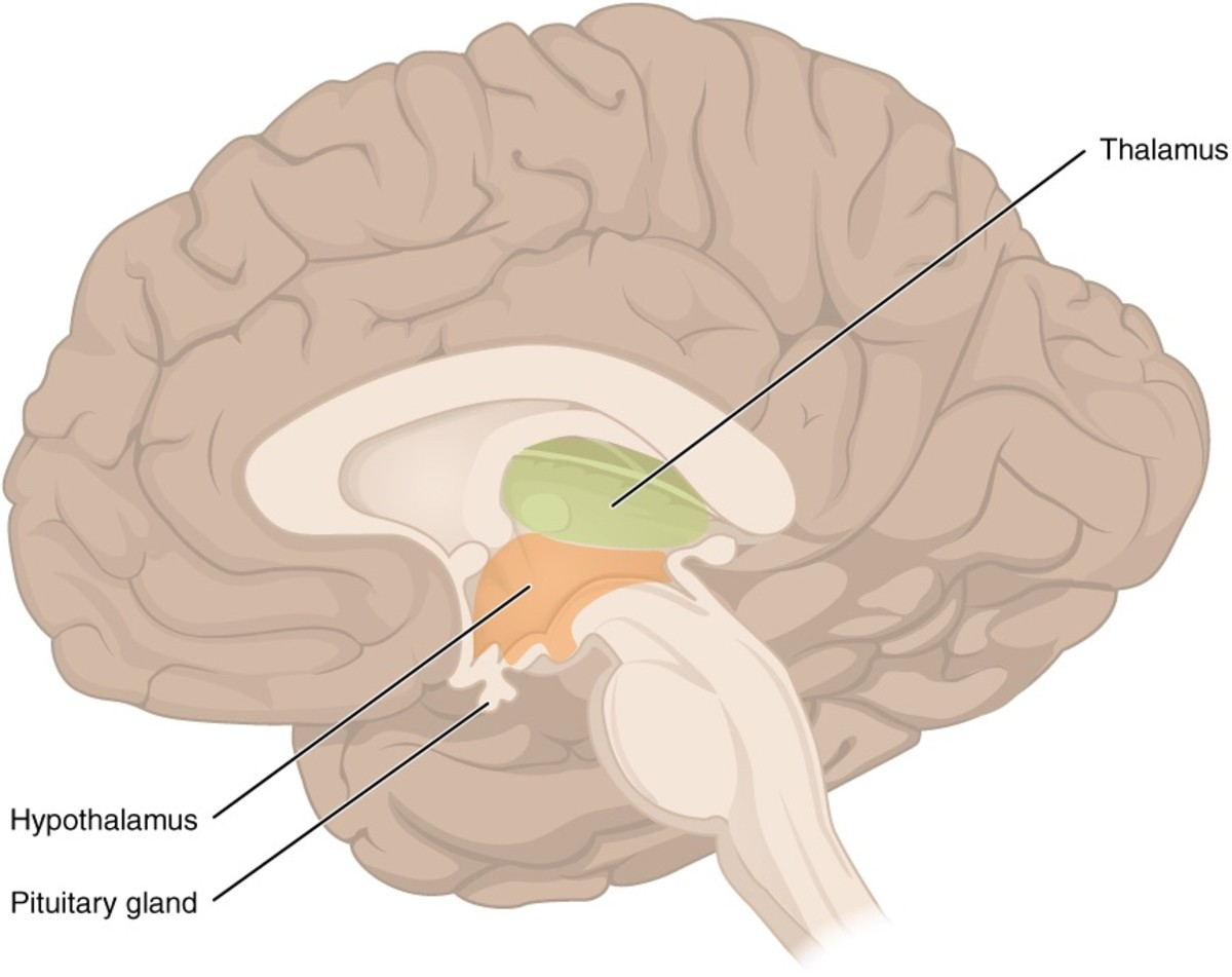 The diencephalon is the location of the thalamus and hypothalamus.