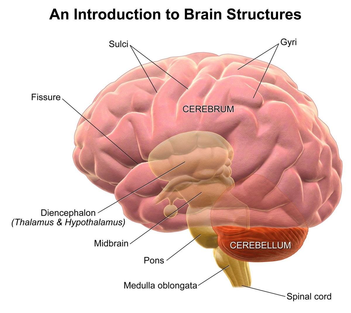 Basic structure of the brain