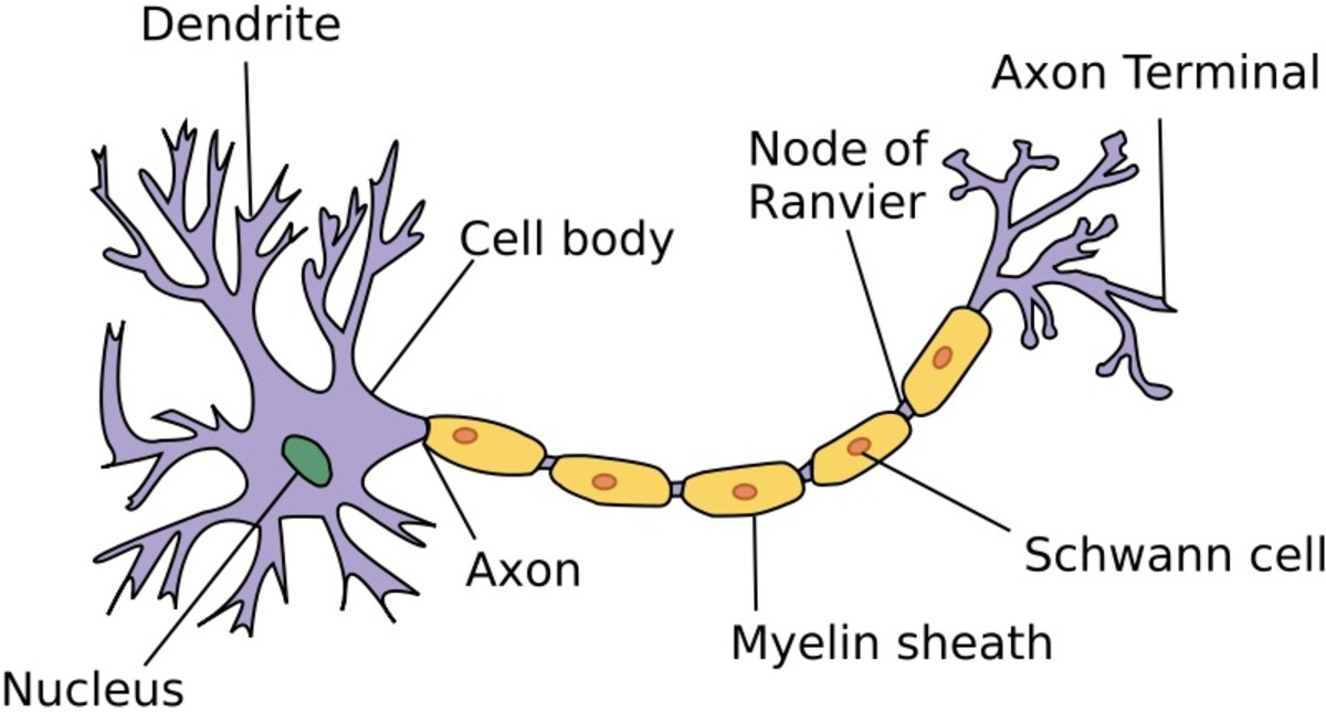 Parts of a neuron or nerve cell