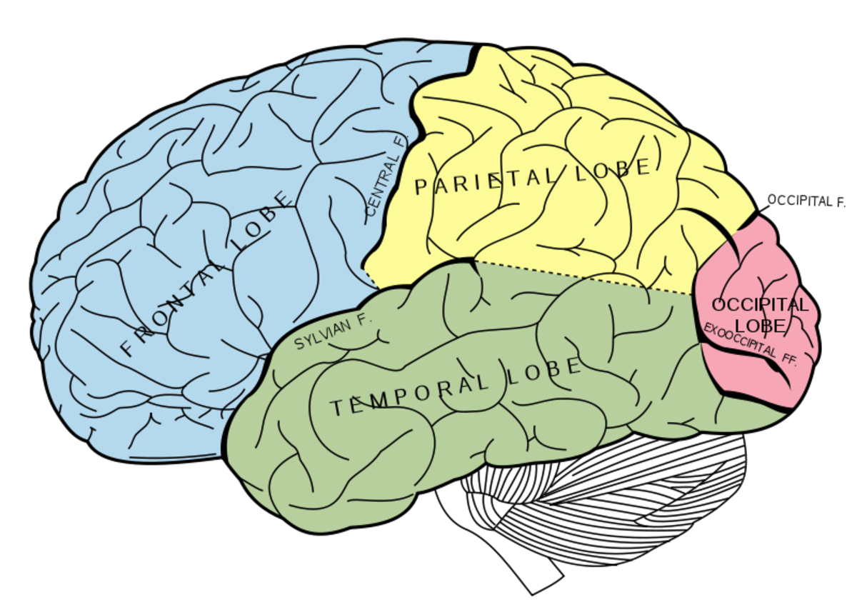 Lobes of the cerebrum, with the uncolored cerebellum underneath