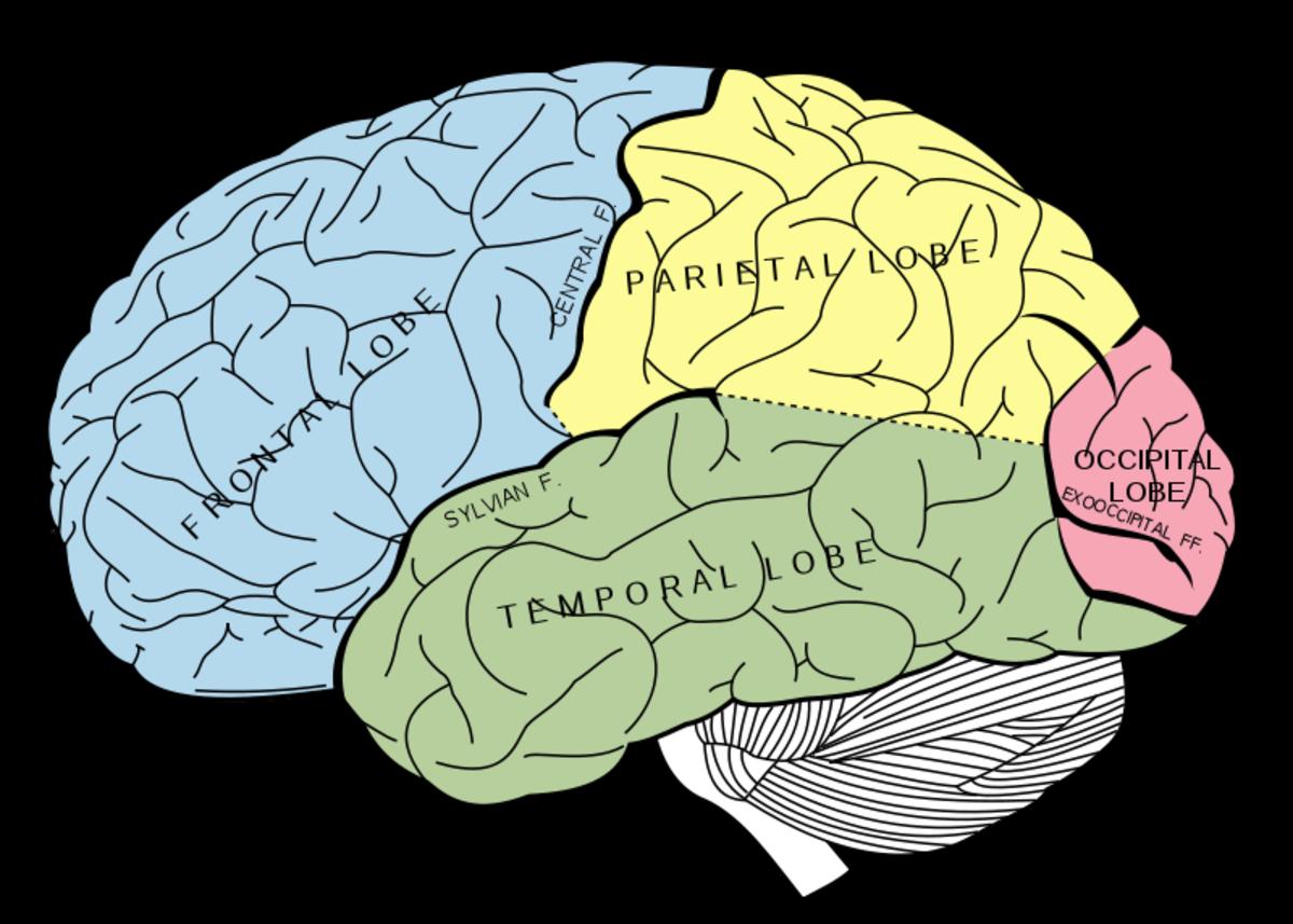 Lobes of the cerebrum, with the uncolored cerebellum underneath