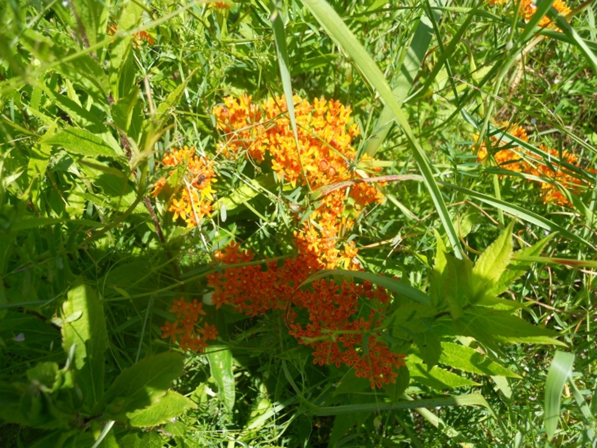 Buttterfly Weed