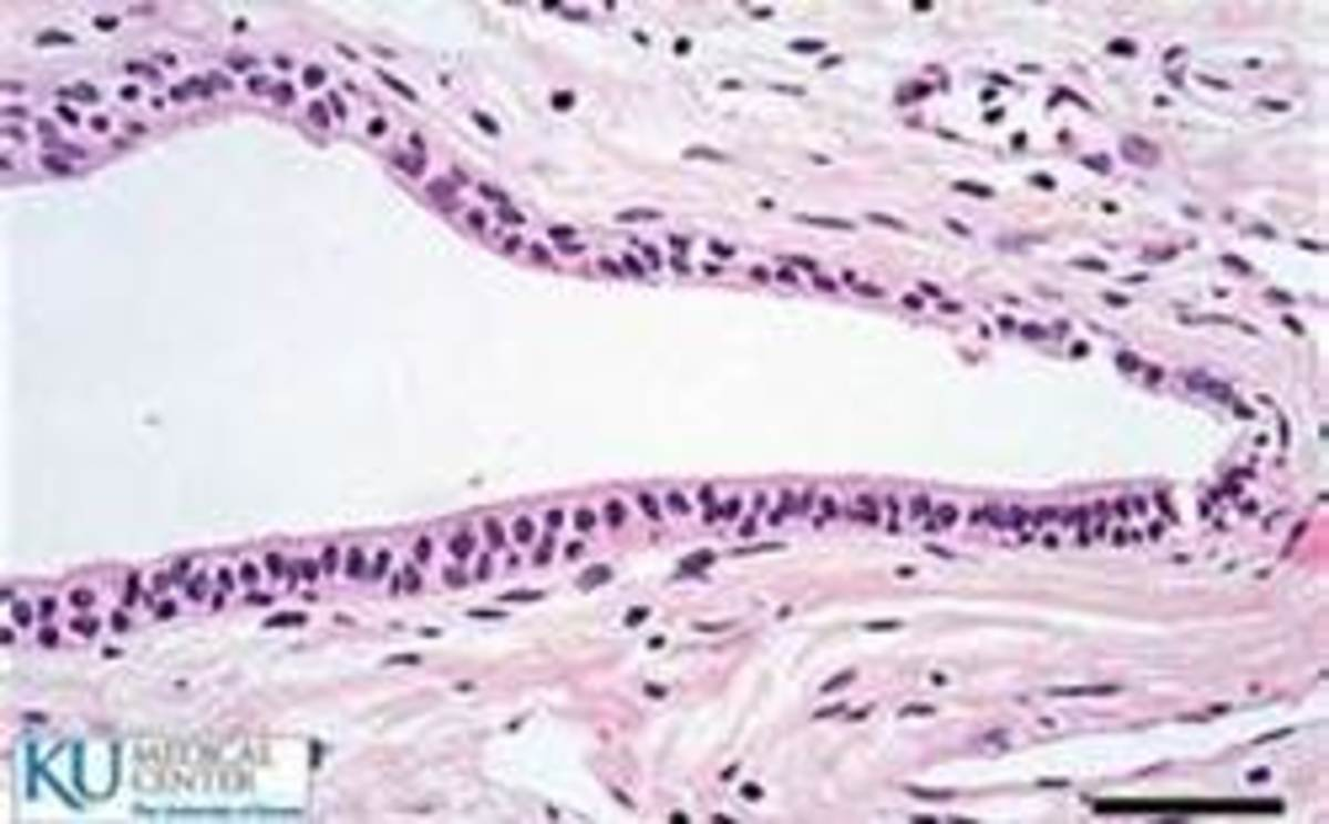 Stratified Cuboidal H&E Stain