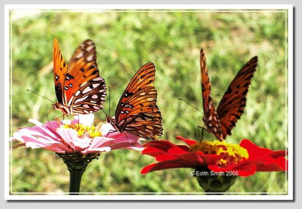 hosting-the-gulf-fritillary-caterpillar