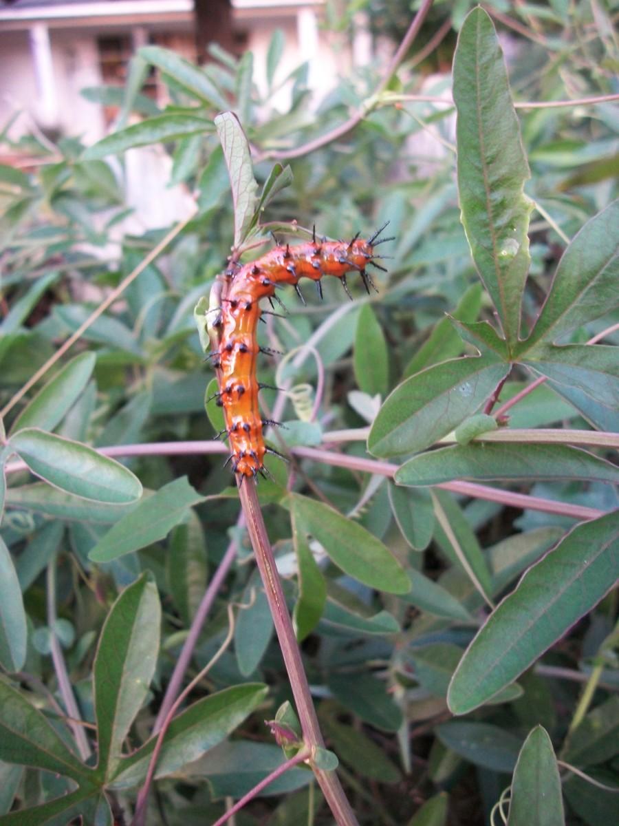 A Gulf Fritillary caterpillar eats its way through a passion flower vine.