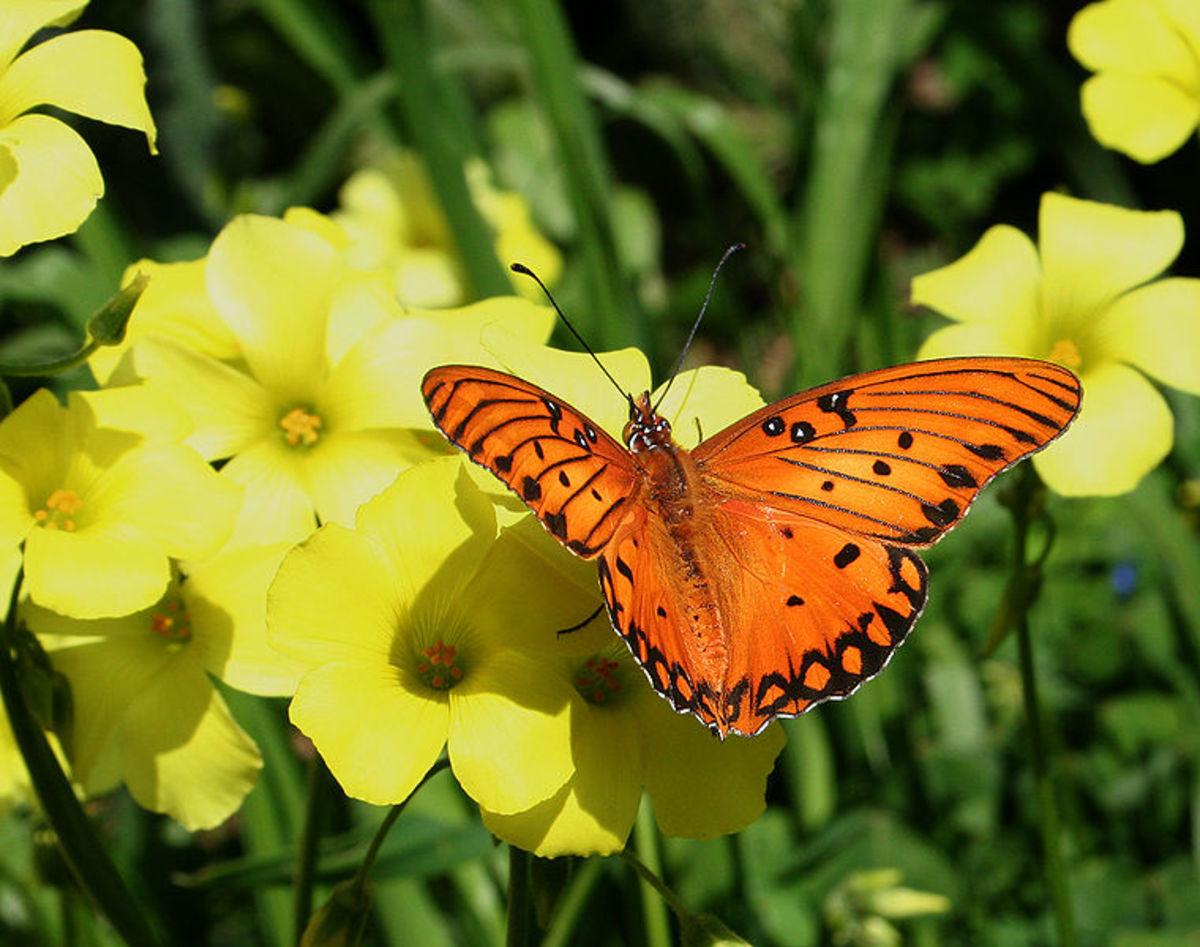 The Gulf Fritillary butterfly feasts on tasty nectar.