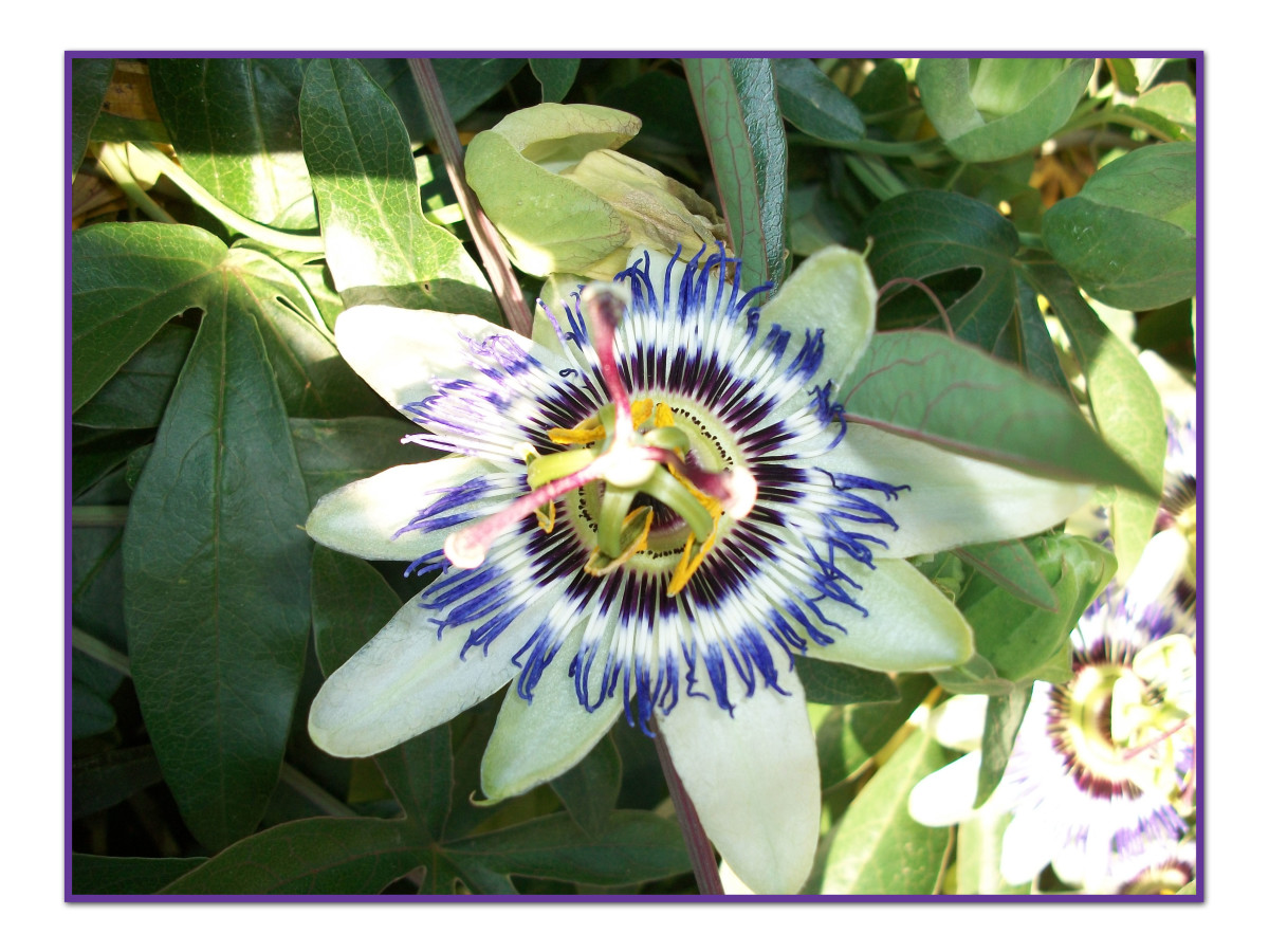 The passion flower vine is the host plant for the caterpillar of the Gulf Fritillary butterfly.
