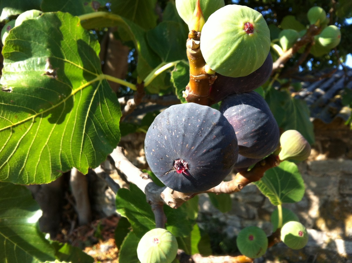 Fig and leaf on the fig tree
