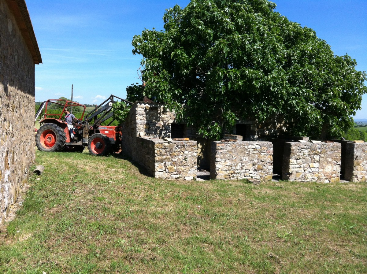 Cutting back the fig tree