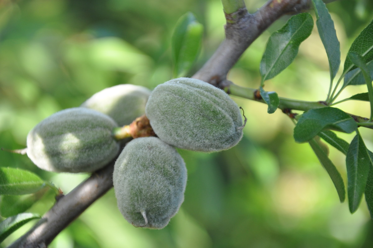 Young almonds on the almond tree