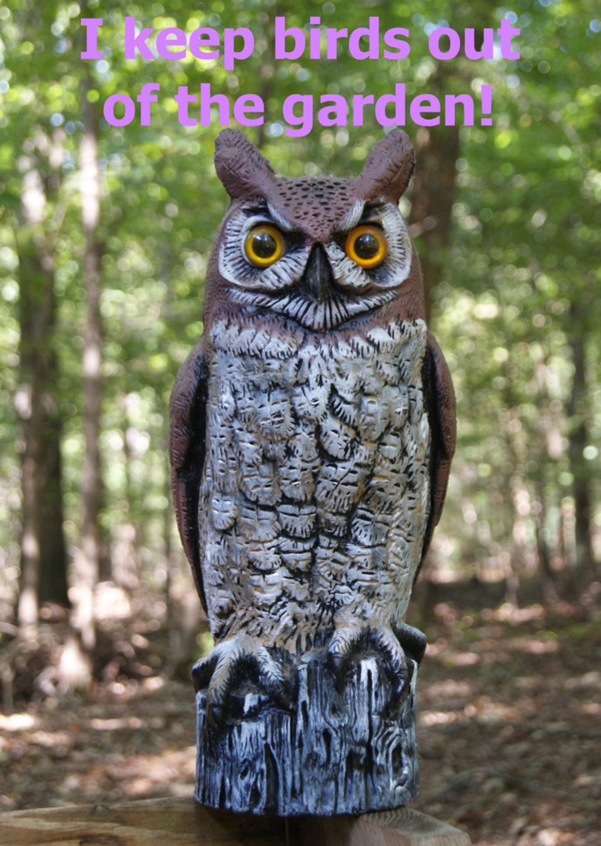 """The fierce, mean, scary owl says """"Birds out of garden!"""""""
