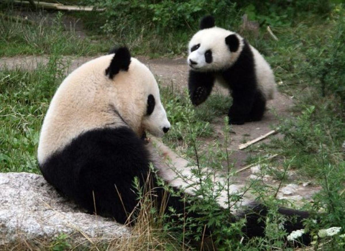 Panda preserve in Vienna: photo credit: Manfred Werner