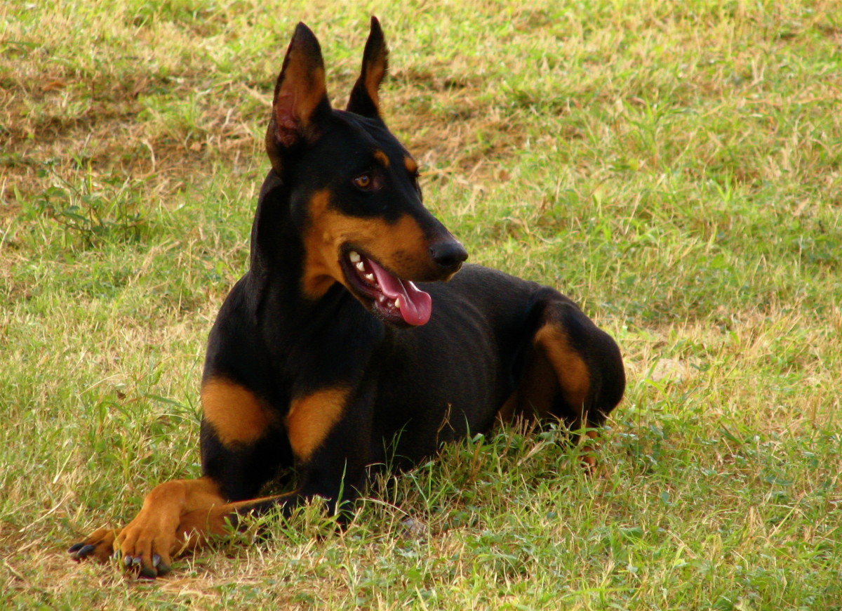 Doberman Pinschers are prone to Type I vWD.