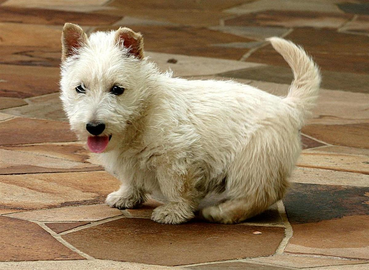Scottish Terriers are prone to Type III vWD, but may also be affected by Type I.