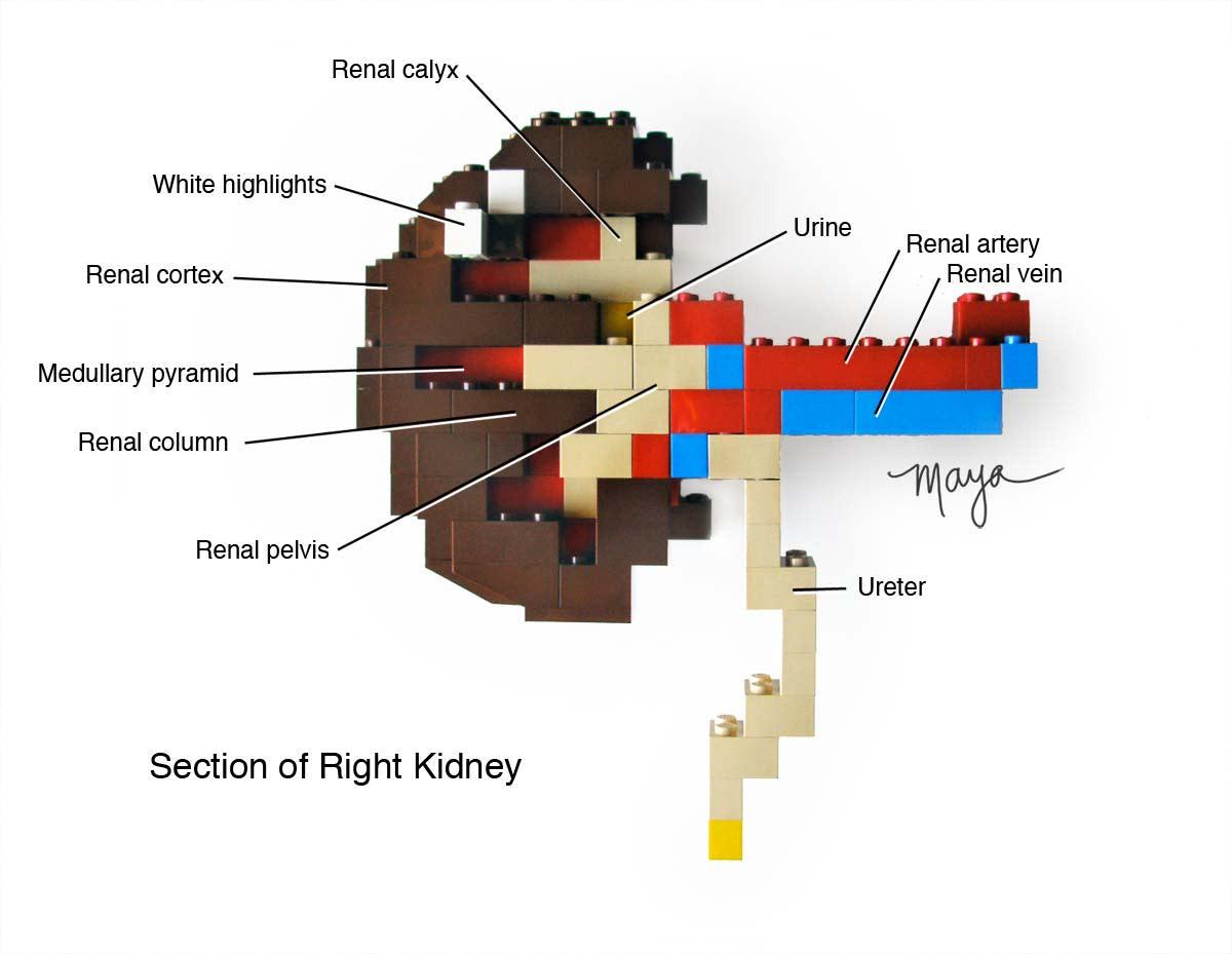 Lego kidney build.