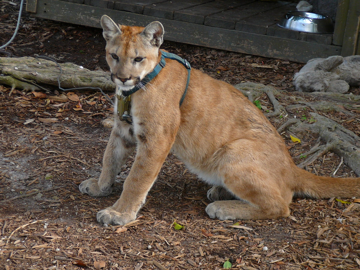 Unfortunately, many Florida Panthers are in captivity due to destruction of habitat, injured animals, and defects due to inbreeding.