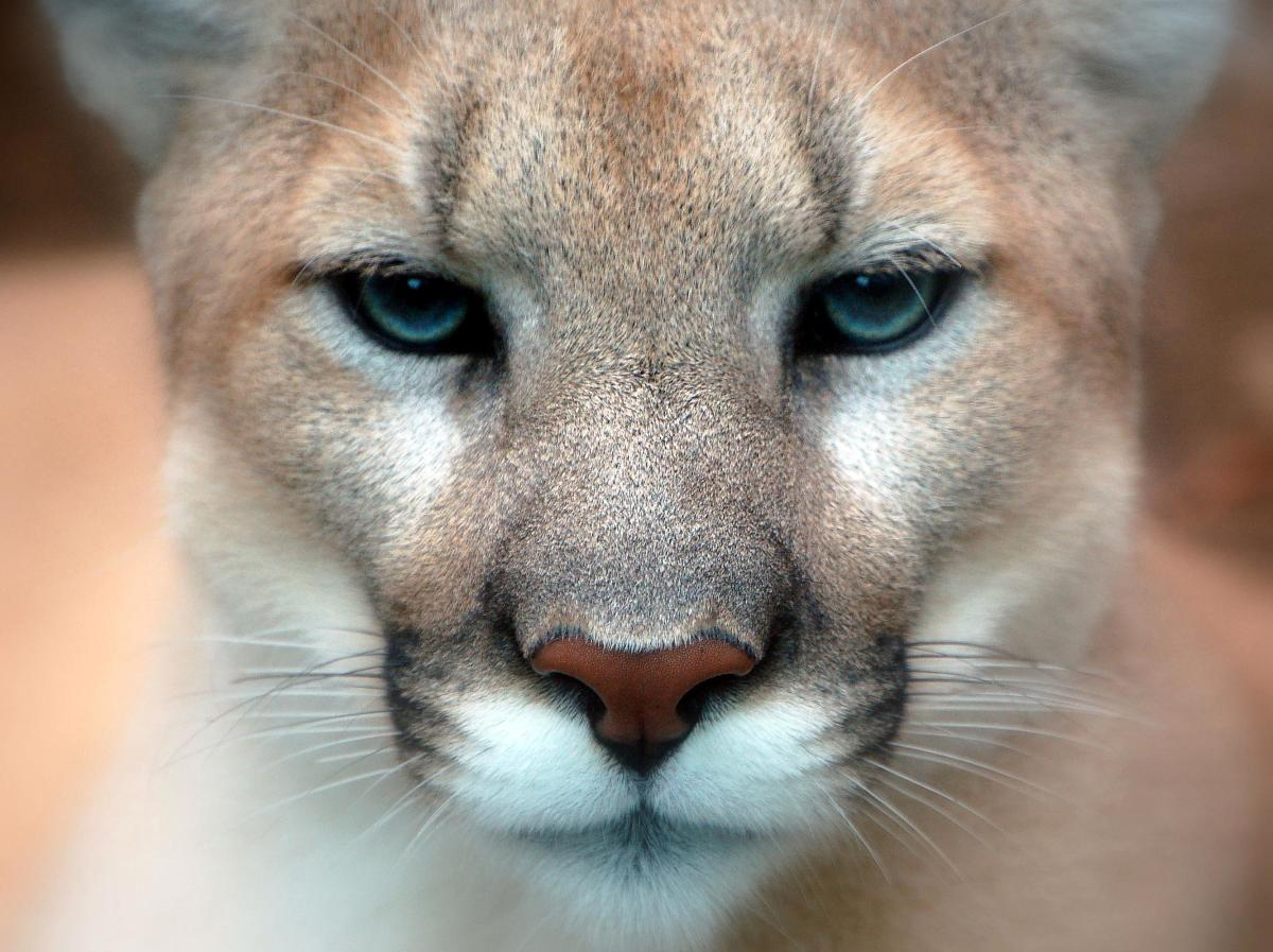 Brilliant photo of a Florida panther.
