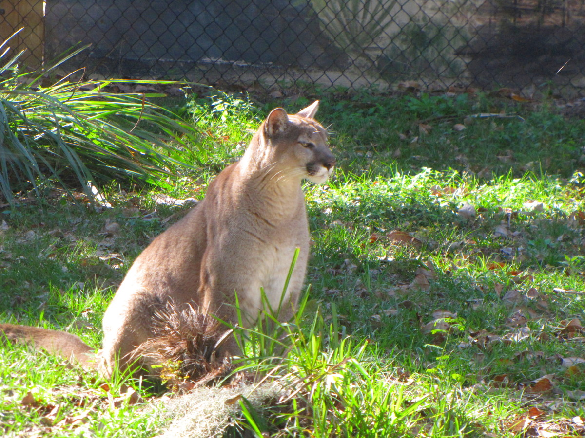 This animal is staying a wild animale refuge where he is able to be monitored and kept track of.