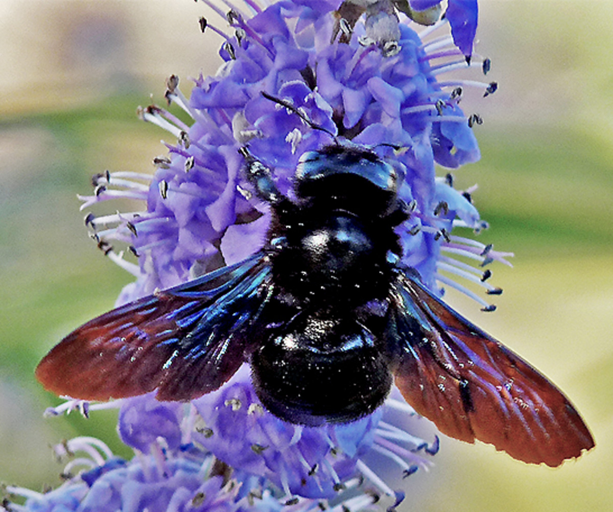 This beautiful bee seems to love purple flowers