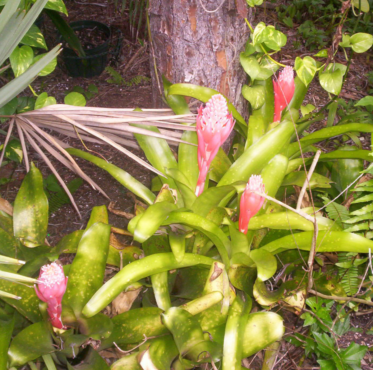 These Bromeliads multiply and grow under a tree in my yard.