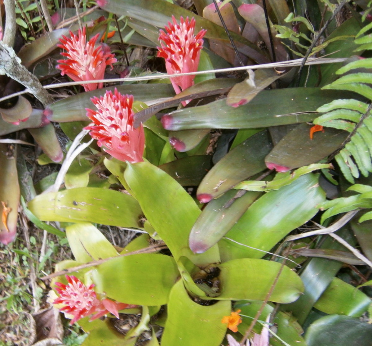 growing-beautiful-blooming-bromeliads-inside-and-in-the-yard