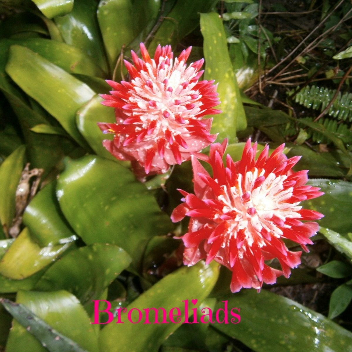 How To Grow Beautiful Bromeliads Inside and Outside In The Yard