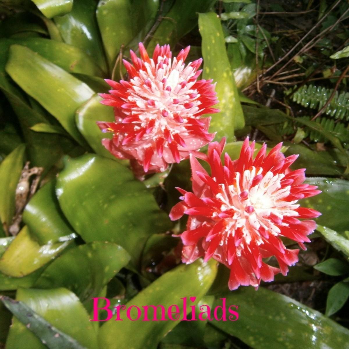 Bromeliads blooming in my garden.