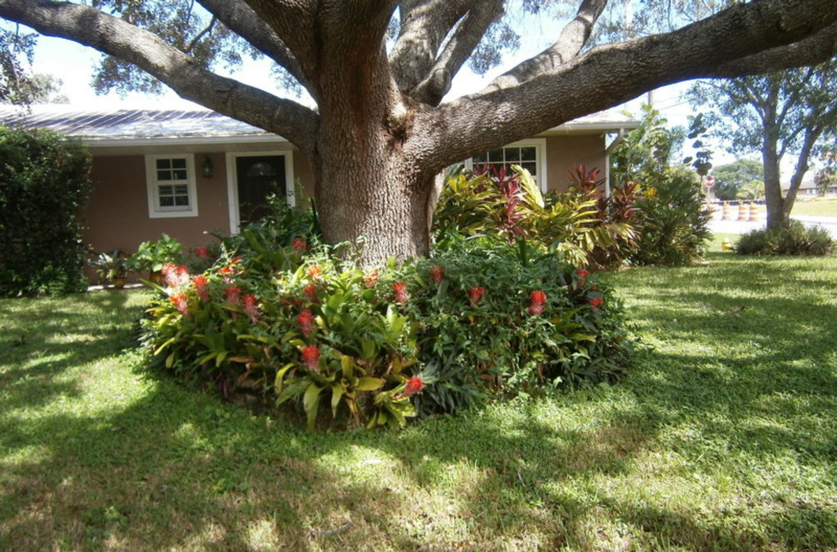 These Bromeliads grow and multiply underneath this large tree.  They do like to be in the shade.