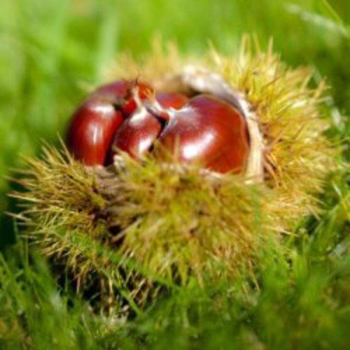 Chestnuts in their case