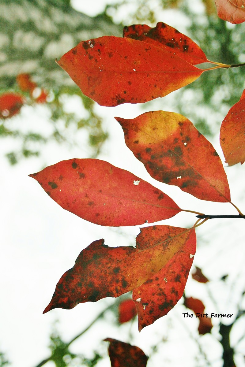 Using Autumn Leaves in the Garden