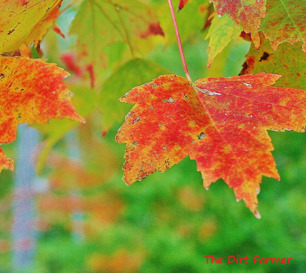 When decomposed, autumn leaves can be used both as mulch & fertilizer.